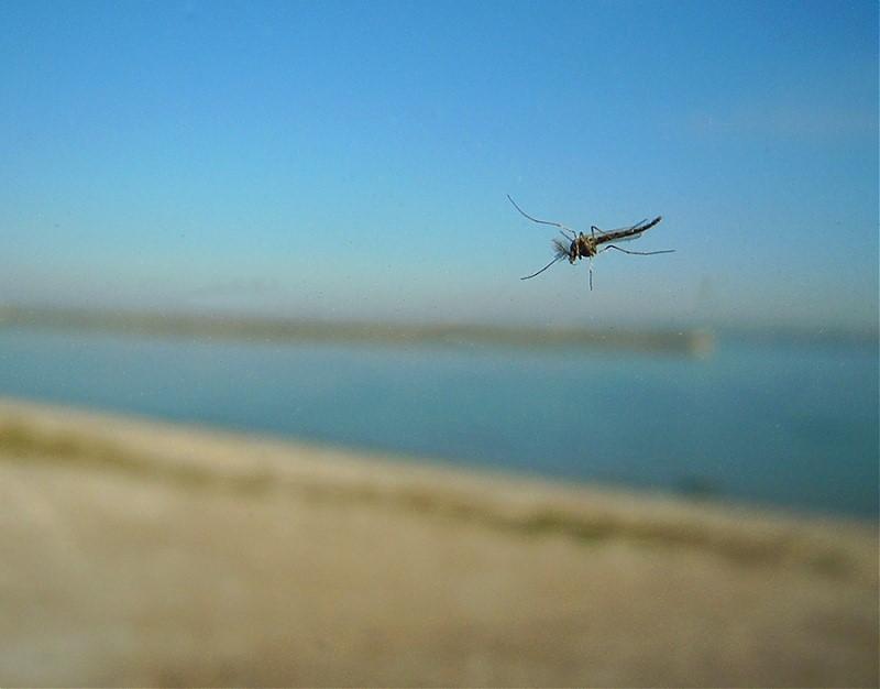 Un moustique vole de 1 à 5 km à l'exception des moustiques tigre qui ne se déplacent que sur 300 m.